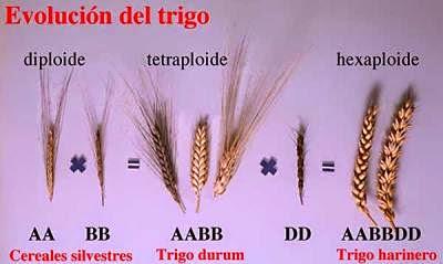 evolucion genetica Trigo