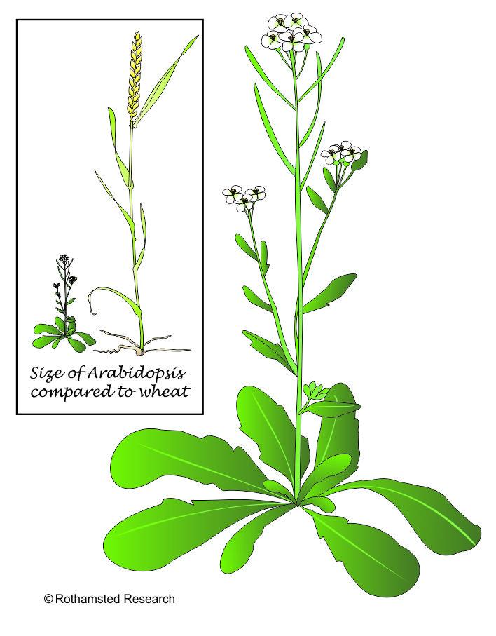 hierba arabidopsis