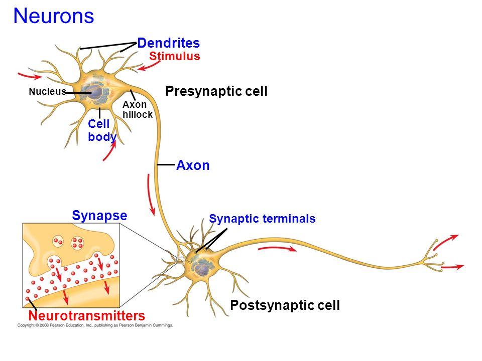 esquema neurona