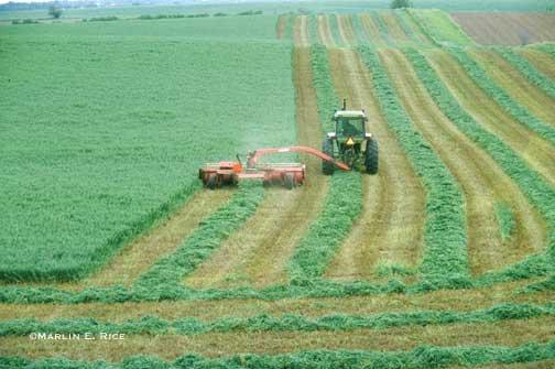 forraje alfalfa