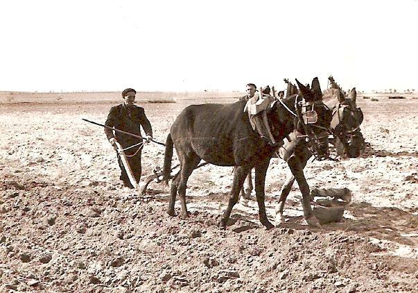 Arar con Mulas