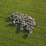 El futuro de la ganadería: Una moderna instalación de ovino.